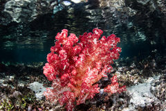 Red Soft Coral on Shallow Indonesian Reef Stock Photography