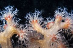 Red Soft coral underwater in the St. Lawrence River. Red Soft coral underwater with open polyps stock photo