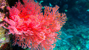 Red Soft Corals om Frewen Wall, Raja Ampat, Indonesia. Red Soft Corals om Frewen Wall, Raja Ampat. Indonesia royalty free stock photography