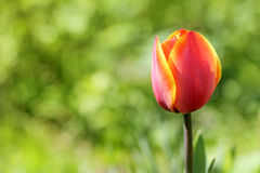 Red soft tulip Stock Images