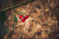 Red Solanum procumbens. Flower background beautiful beauty blossom branch closeup color colorful flora floral flowers food fresh fruit garden gardening green royalty free stock photos