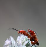 Red soldier beetle Royalty Free Stock Photos