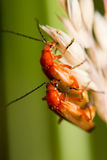 Red soldier beetle Royalty Free Stock Images