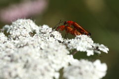 Red soldier beetle or bloodsucker beetle coupling Stock Images