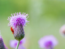 Red soldier beetle on flowering thistle Royalty Free Stock Photos
