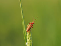 Red Soldier Beetle on Grass Stalk Royalty Free Stock Image