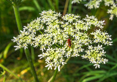Red Soldier Beetle On A White Inflorescence Royalty Free Stock Photography