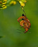 Red soldier beetle, Rhagonycha fulva Royalty Free Stock Image