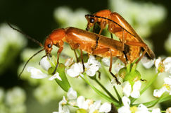 Red soldier beetle Rhagonycha fulva Royalty Free Stock Images