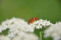 Red soldier beetle Royalty Free Stock Photography