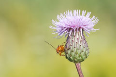 Red soldier beetle (Rhagonycha fulva) on thistle. Royalty Free Stock Photography