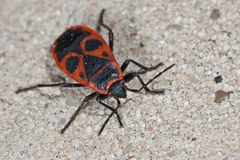 Red Soldier Bug Royalty Free Stock Images