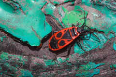 Red soldier bug crawls along the trunk of a colored tree. Stock Photos
