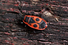 Red soldier bug crawls along the trunk of a tree. Royalty Free Stock Photography