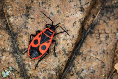 Red soldier bug Royalty Free Stock Photography
