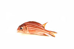 Red soldier fish. Redcoat Squirrel fish or Red Soldier fish on white background royalty free stock photos