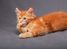 Red solid maine coon kitten lying with relaxing look and licking. The paw with beautiful brushes on the ears on grey background. Closeup portrait Stock Images
