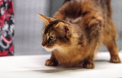 Red Somali purebred cat. With beautiful spots and markings Stock Image