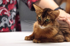 Red Somali purebred cat. With beautiful spots and markings Stock Images