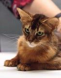 Red Somali purebred cat Stock Images