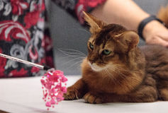 Red Somali purebred cat. With beautiful spots and markings Royalty Free Stock Image