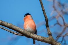 The male European bullfinch or common bullfinch Pyrrhula pyrrhula sitting on the branch with blue background. Red songbird with black cap and face singing spring stock image