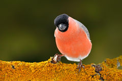 Red songbird Bullfinch sitting on snow branch during winter. Wildlife scene from Czech nature. Beautiful song bird in the nature h. Red songbird Bullfinch Stock Photo