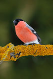 Red songbird Bullfinch sitting on yellow lichen branch, Sumava, Czech republic. Red songbird Bullfinch sitting on yellow lichen branch, Sumava Royalty Free Stock Image