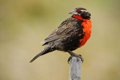 Red songbird. Long-tailed Meadowlark, Sturnella loyca falklandica, Saunders Island, Falkland Islands. Red and brown song bird sitt Stock Photo