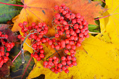 Red sorbus on the autumn maple leafs Stock Image