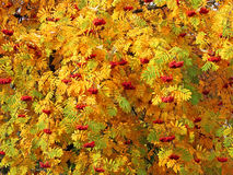 Red sorbus bunches among autumn leaves. Red bunches of mountain ash (Sorbus aucuparia) hanging on the branches among the thick bright green, yellow and orange royalty free stock photography