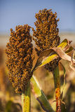 Red Sorghum Royalty Free Stock Image