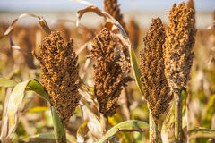 Red Sorghum Stock Photos