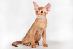 Red (sorrel) abyssinian kitten Stock Images
