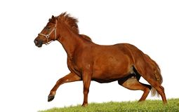 Red sorrel mare. The Budenny horse - isolated on white stock photos