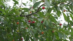 Red sour cherry tree branch with pair of tasty fruit on wind 4K Close-up cherry tree branches and fruit. Red sour cherry tree branch with pair of tasty fruit on stock video