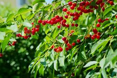 Red sour or tart cherries growing on a cherry tree. Ripe Prunus cerasus fruits and green tree foliage royalty free stock photos