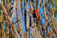 Red Southern Bishop Royalty Free Stock Photos