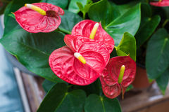 Red Spadix Flower Royalty Free Stock Image