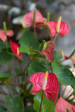 Red spadix in garden Royalty Free Stock Image