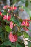 Red spadix in garden Stock Photos