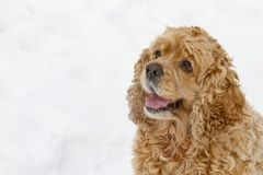 Red spaniel dog Royalty Free Stock Images