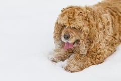 Red spaniel dog Royalty Free Stock Photo