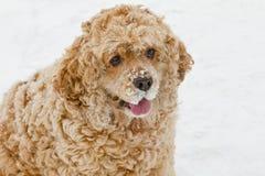 Red spaniel dog Stock Photos