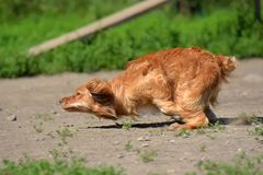 Red spaniel quickly runs. In the park stock photography