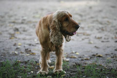 Red spaniel standing. On the dirt Stock Photos