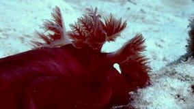 Red Spanish Dancer Hexabranchus sanguineus on sea. stock footage