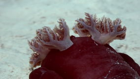 Red Spanish Dancer Hexabranchus sanguineus on sea. stock video footage
