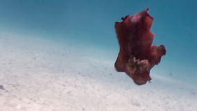 Red Spanish Dancer Hexabranchus sanguineus on sea. stock video