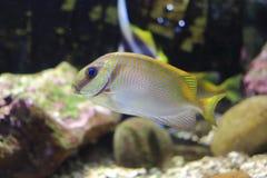 Red Spanish mackerel, blue-lined rabbitfish Royalty Free Stock Photo
